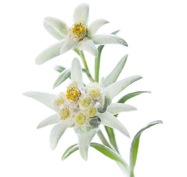 EDELWEISS EXTRACT (WATER SOLUBLE - PG)