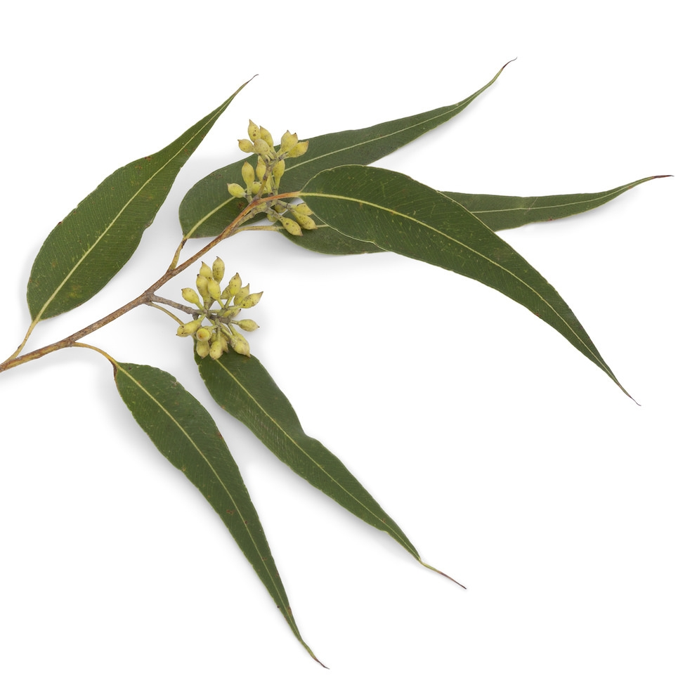 EUCALYPTUS DIVES OIL