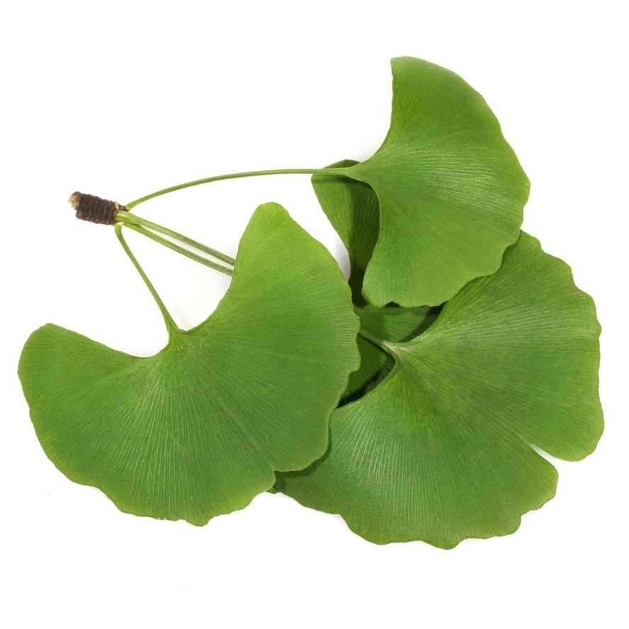 GINKGO EXTRACT (OIL SOLUBLE - SNO)