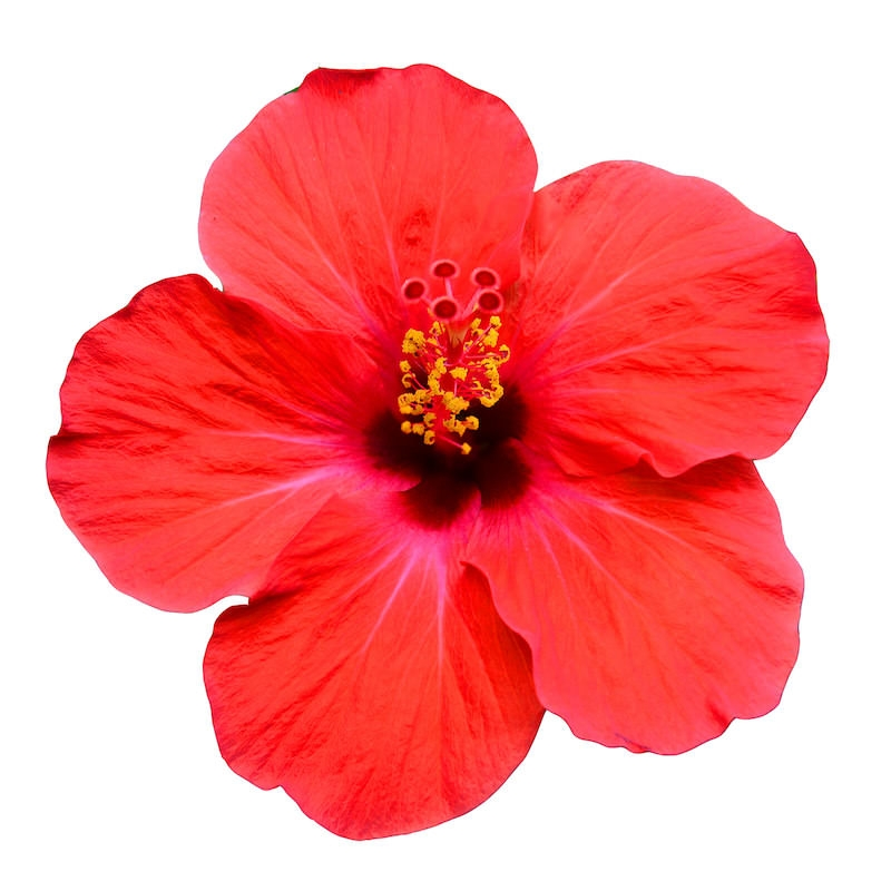 HIBISCUS EXTRACT (OIL SOLUBLE - SNO)