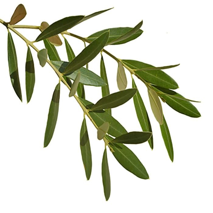 OLIVE LEAF EXTRACT (OIL SOLUBLE - SNO)