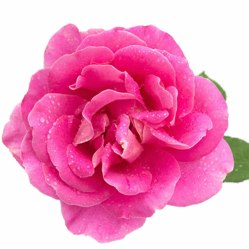 ROSE OTTO (BULGARIAN DAMASK ROSE ESSENTIAL OIL)