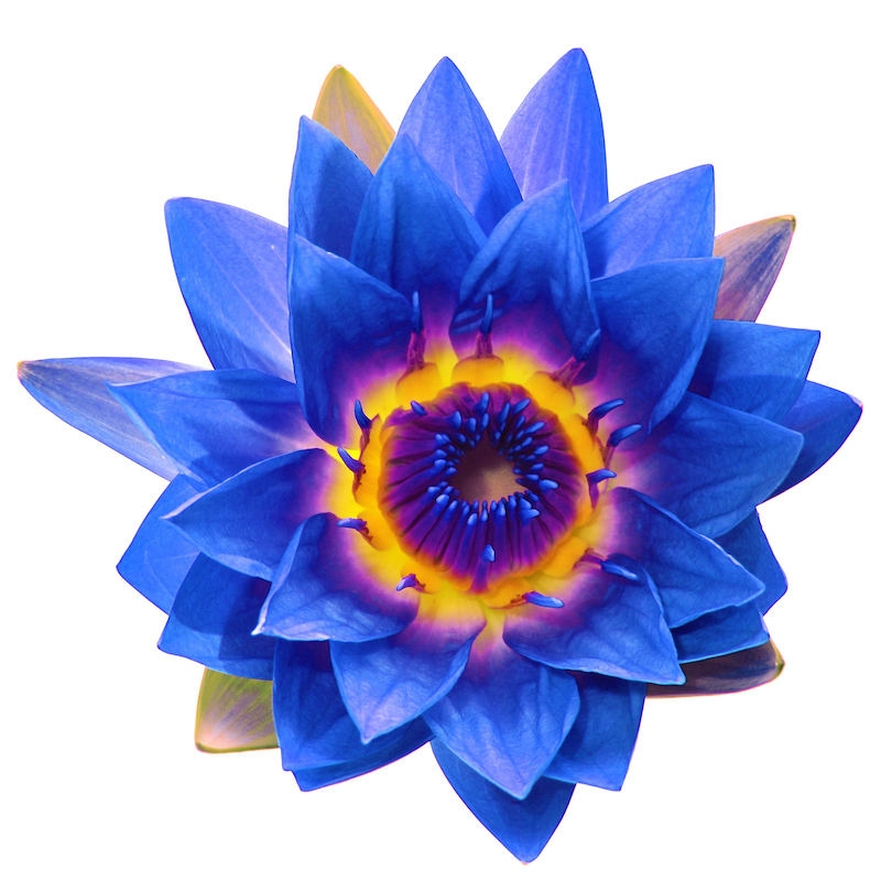 Blue Lotus Absolute | Organic Blue Water Lily Essential Oil - Nature In Bottle