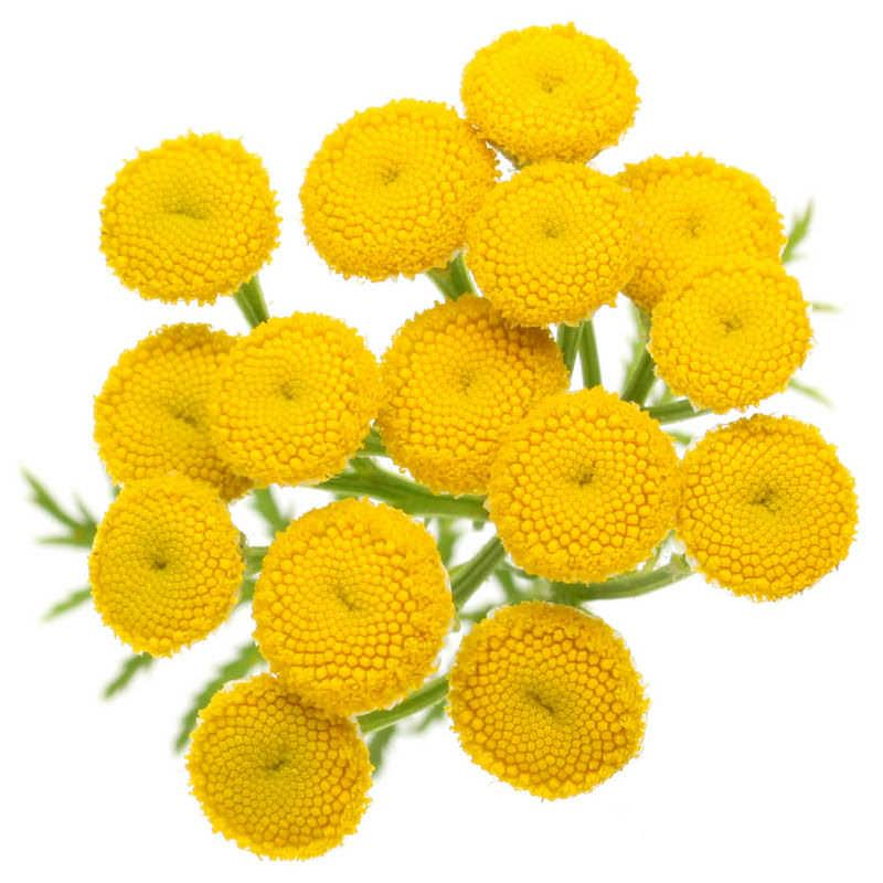 Blue Tansy Essential Oil | Organic Tansy Essential Oil - Nature In Bottle
