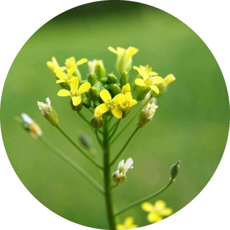 Camelina Oil | Organic Camelina Seed Oil - Nature In Bottle
