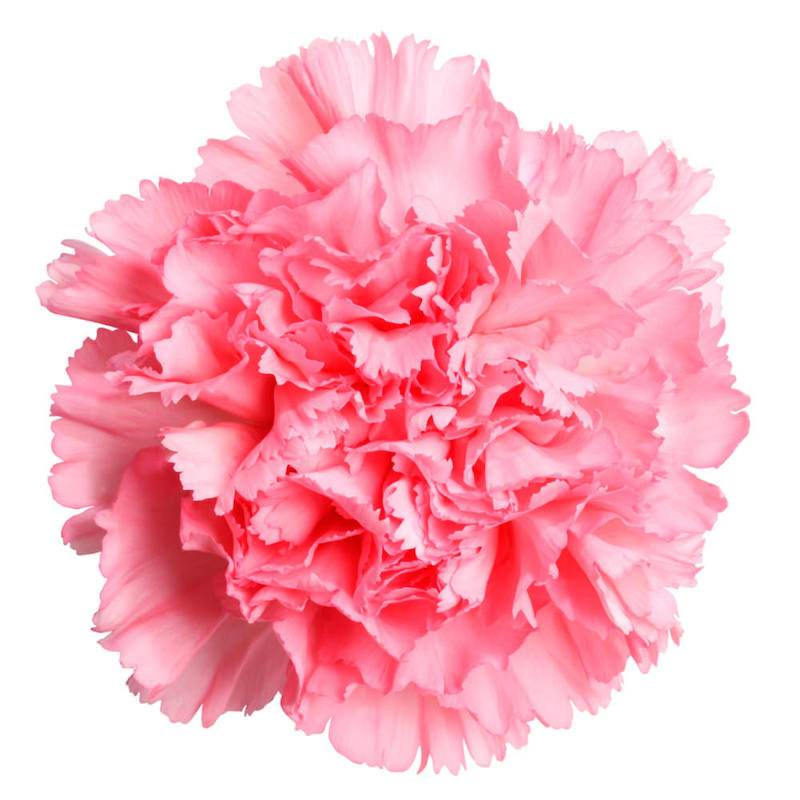 Carnation Absolute | Organic Carnation Essential Oil - Nature In Bottle