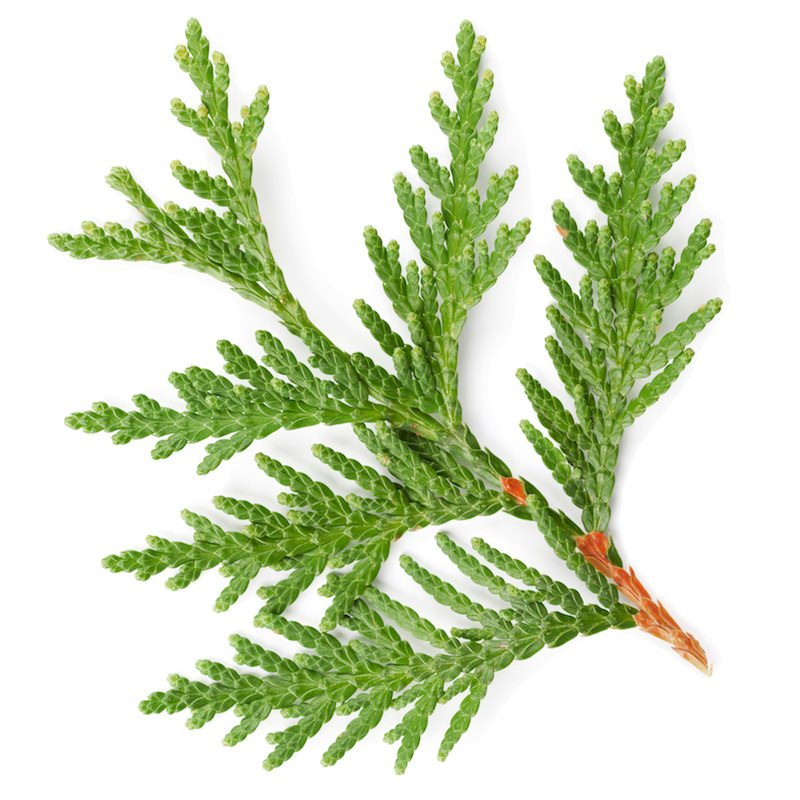 Cedar Leaf Essential Oil | Organic Thuja Essential Oil - Nature In Bottle