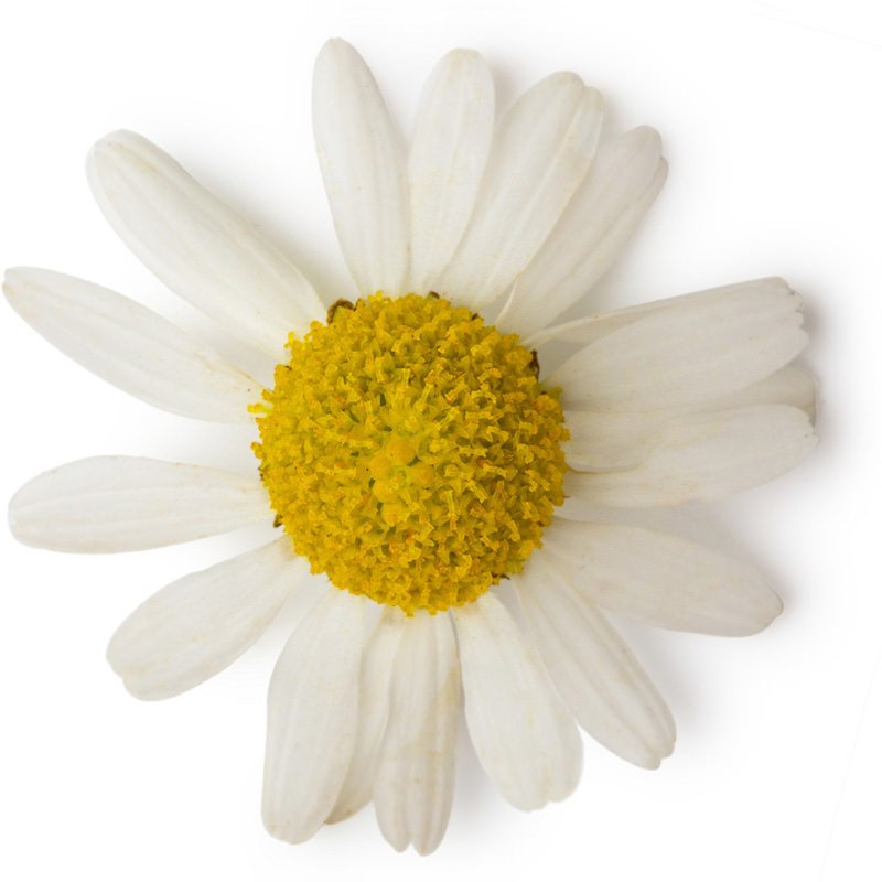 Roman Chamomile Oil | Organic Roman Camomile Essential Oil - Nature In Bottle