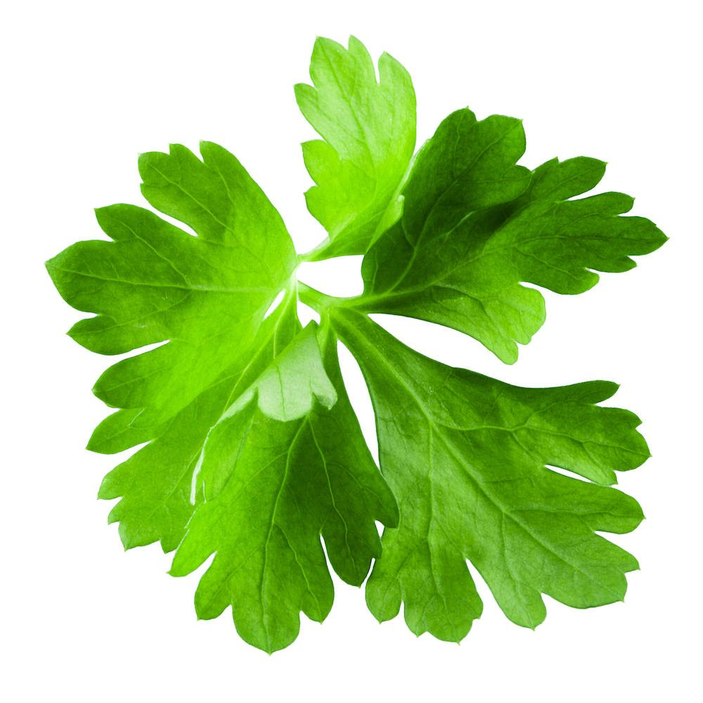 Cilantro Essential Oil | Organic Coriander Leaf Essential Oil - Nature In Bottle