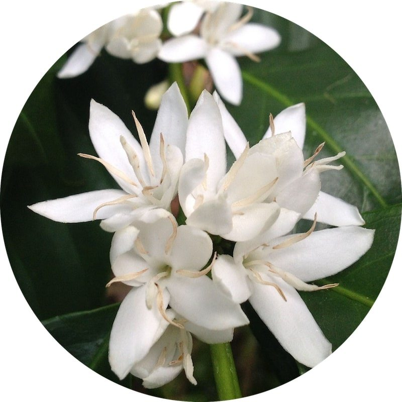 Coffee Blossom Absolute | Organic Coffee Flower Essential Oil - Nature In Bottle