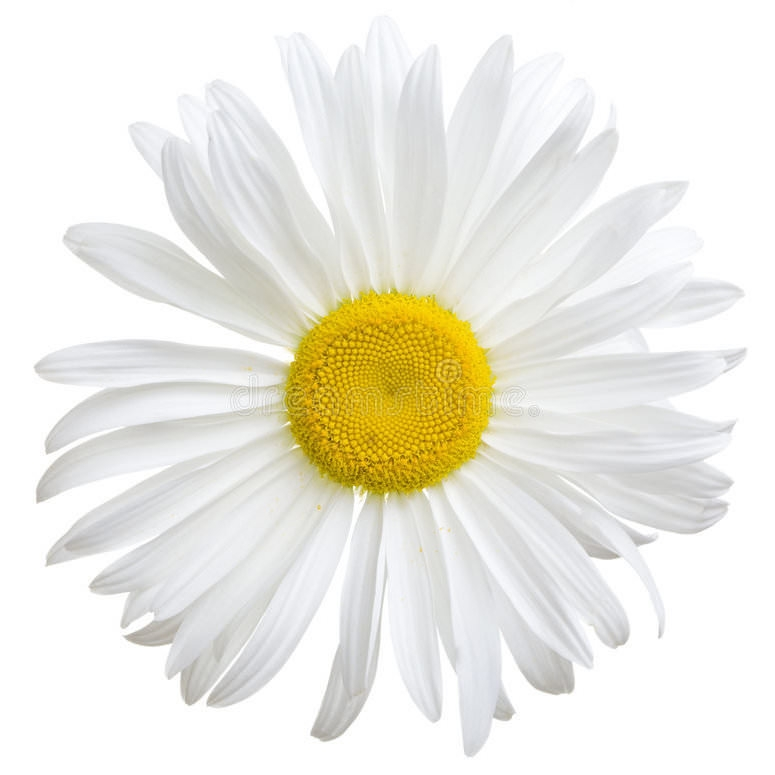 Daisy Flower Oil | Organic Daisy Infused Oil - Nature In Bottle