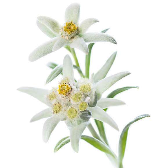 Edelweiss Extract   Organic Edelweiss Extract - Nature In Bottle