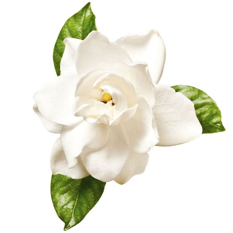 Gardenia Absolute | Organic Gardenia Essential Oil - Nature In Bottle