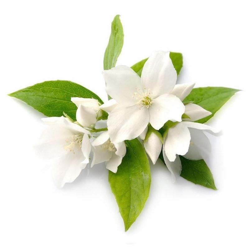 Jasmine Absolute | Jasmine Grandiflorum Essential Oil - Nature In Bottle
