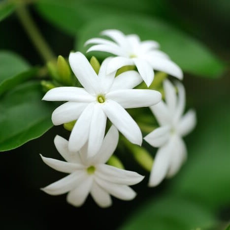 Jasmine Fragrance Oil - Nature In Bottle