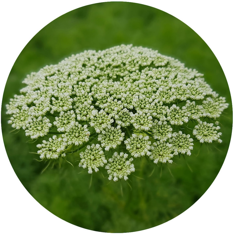 Khella Essential Oil | Ammi Visnaga Seed Oil | Nature In Bottle