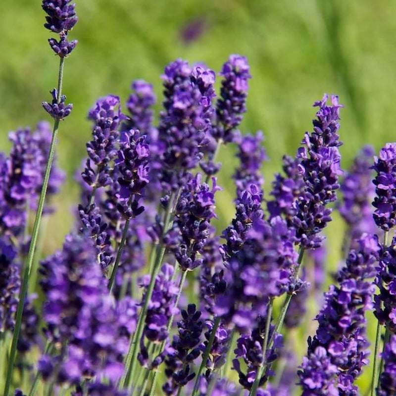 Lavender Fragrance Oil - Nature In Bottle