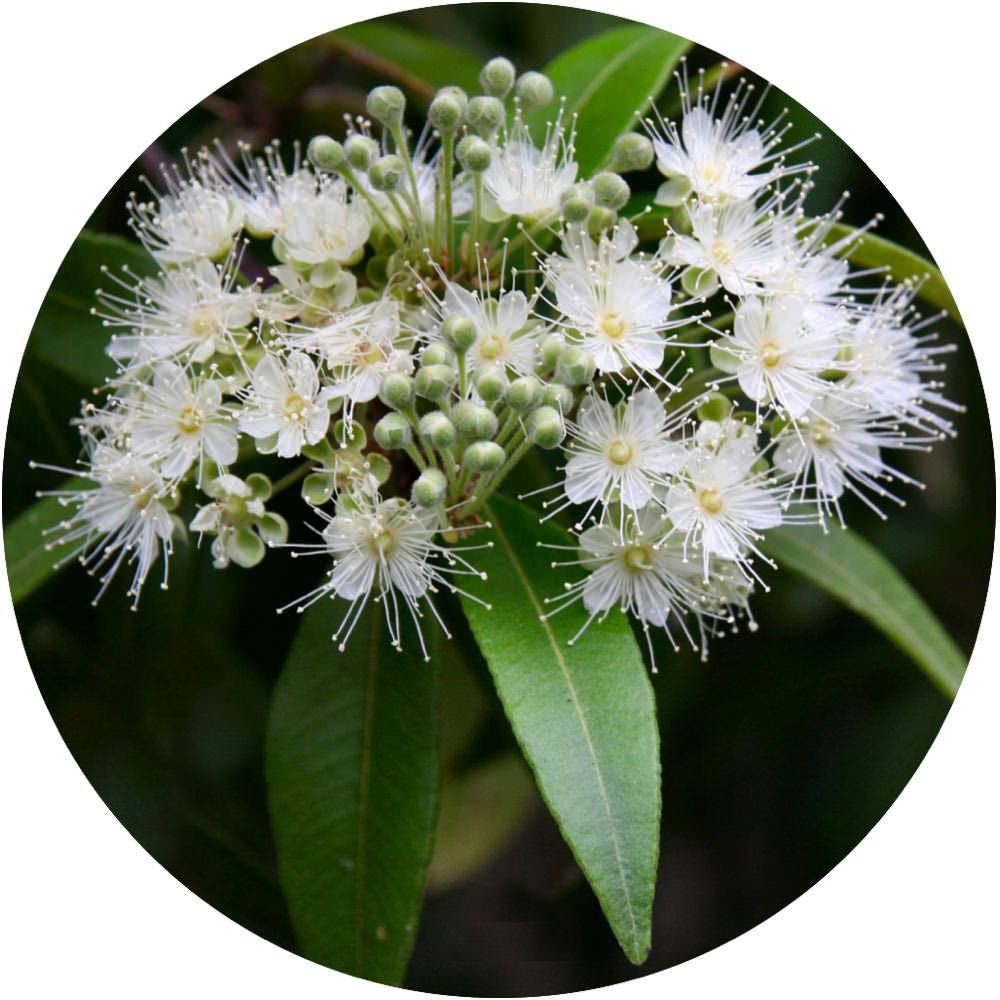 Lemon Myrtle Oil | Organic Lemon Myrtle Essential Oil - Nature In Bottle