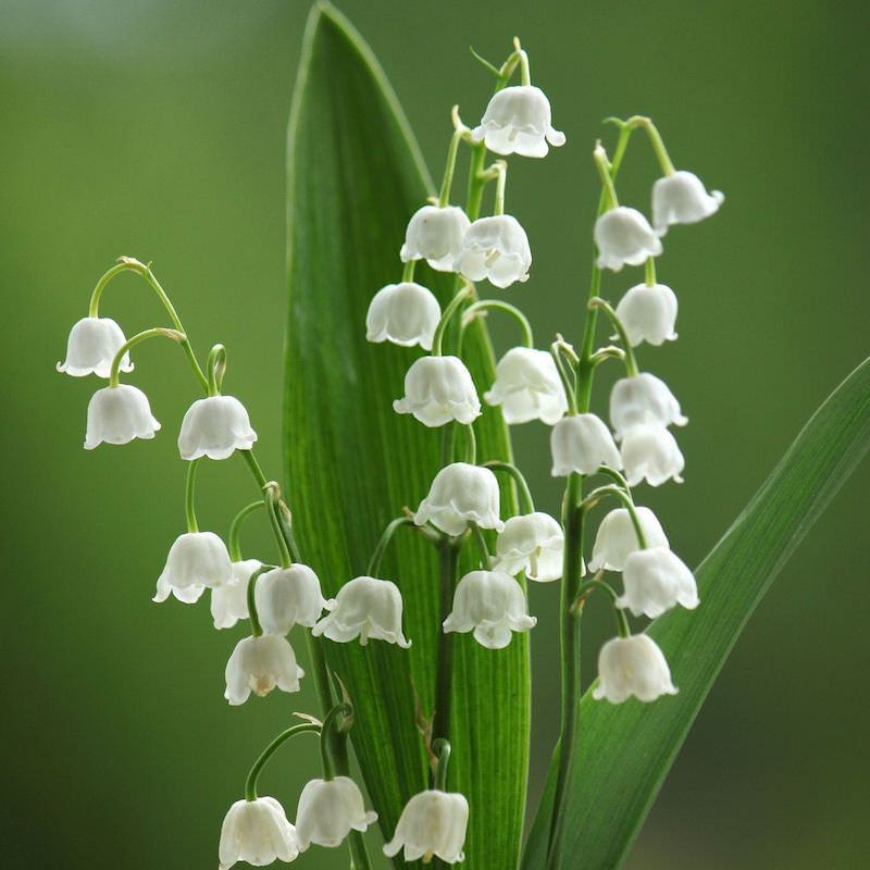 Lily of the Valley Fragrance Oil - Nature In Bottle