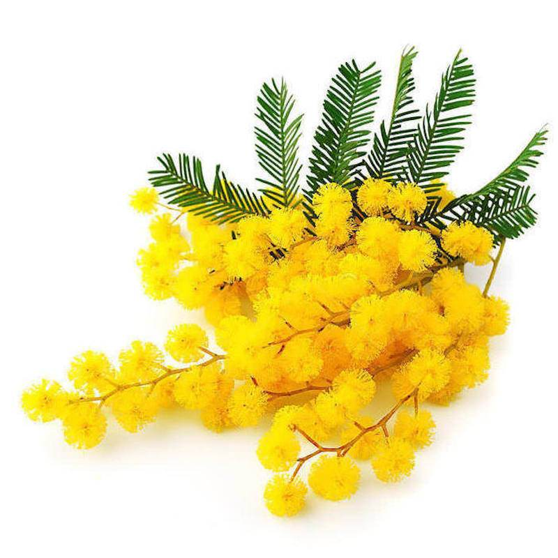 Mimosa Absolute | Organic Mimosa Essential Oil - Nature In Bottle
