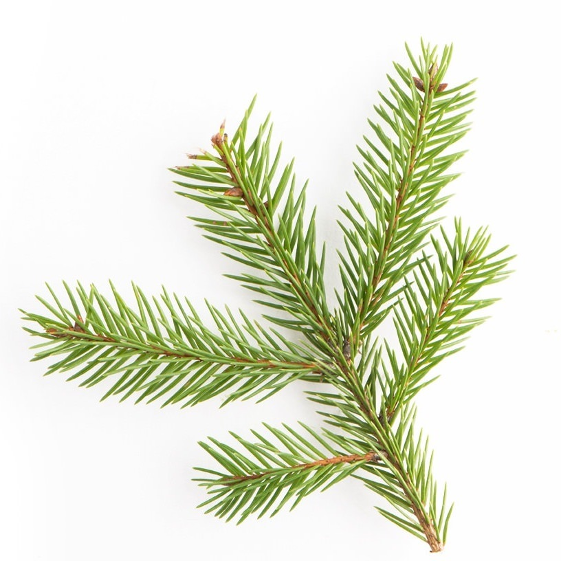 Norway Spruce Essential Oil | Organic Picea Abies Leaf Oil - Nature In Bottle