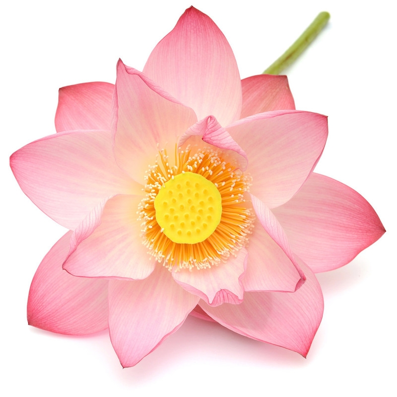 Pink Lotus Absolute | Organic Pink Lotus Essential Oil - Nature In Bottle
