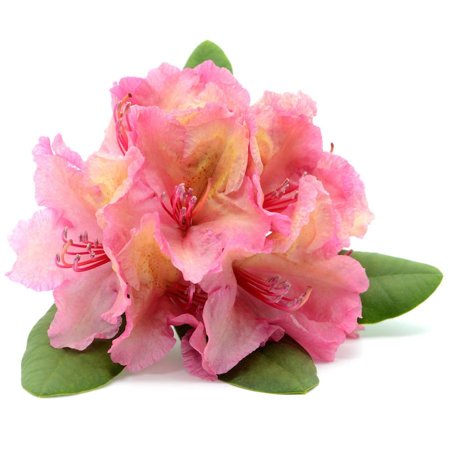 Rhododendron Essential Oil | Organic Rhodendron Anthopogon Oil - Nature In Bottle