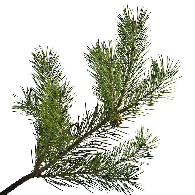 Scots Pine Oil | Organic Scotch Pine Needle Essential Oil - Nature In Bottle