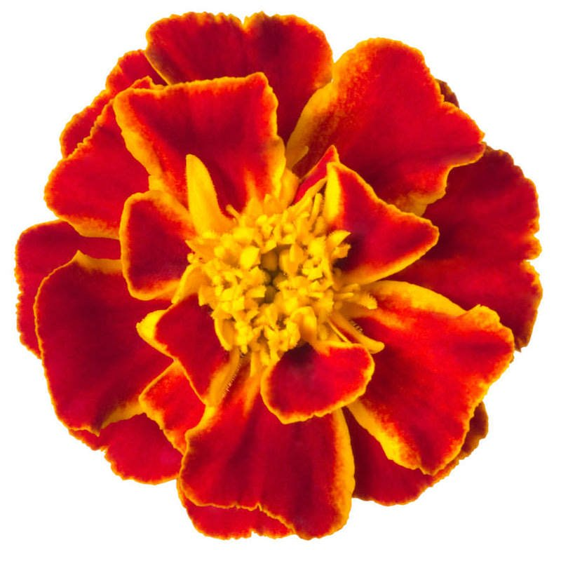 Tagetes Absolute   Organic Tagete Essential Oil - Nature In Bottle