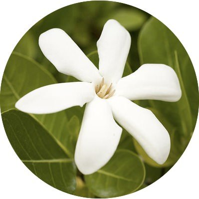 Tiare Absolute | Organic Tahitian Gardenia Essential Oil - Nature In Bottle