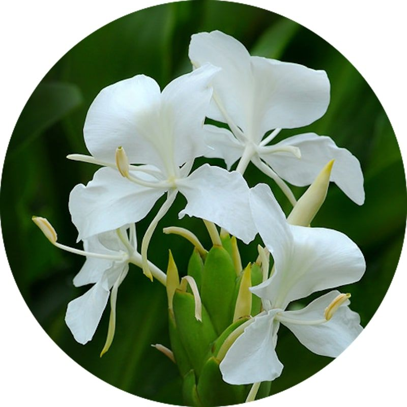 White Ginger Lily Absolute | Organic White Ginger Lily Essential Oil - Nature In Bottle