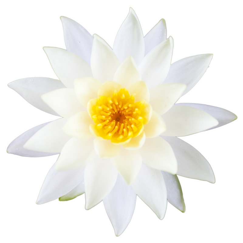 White Lotus Absolute | Organic White Lotus Essential Oil - Nature In Bottle