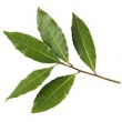BAY LAUREL (LAUREL LEAF) HYDROSOL