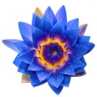 LOTUS BLUE (BLUE WATER LILY) ABSOLUTE OIL