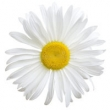 DAISY FLOWER OIL