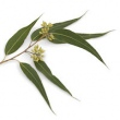 EUCALYPTUS DIVES (PEPPERMINT GUM) OIL