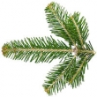 SILVER FIR NEEDLE OIL