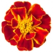 TAGETES ABSOLUTE