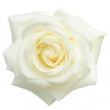 ROSE WHITE OTTO (WHITE ROSE ESSENTIAL OIL)